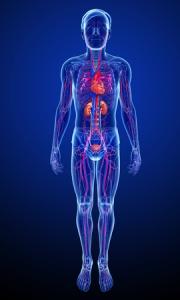 Bild: Menschlicher Blutkreislauf